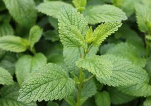 Lovely Lemon Balm