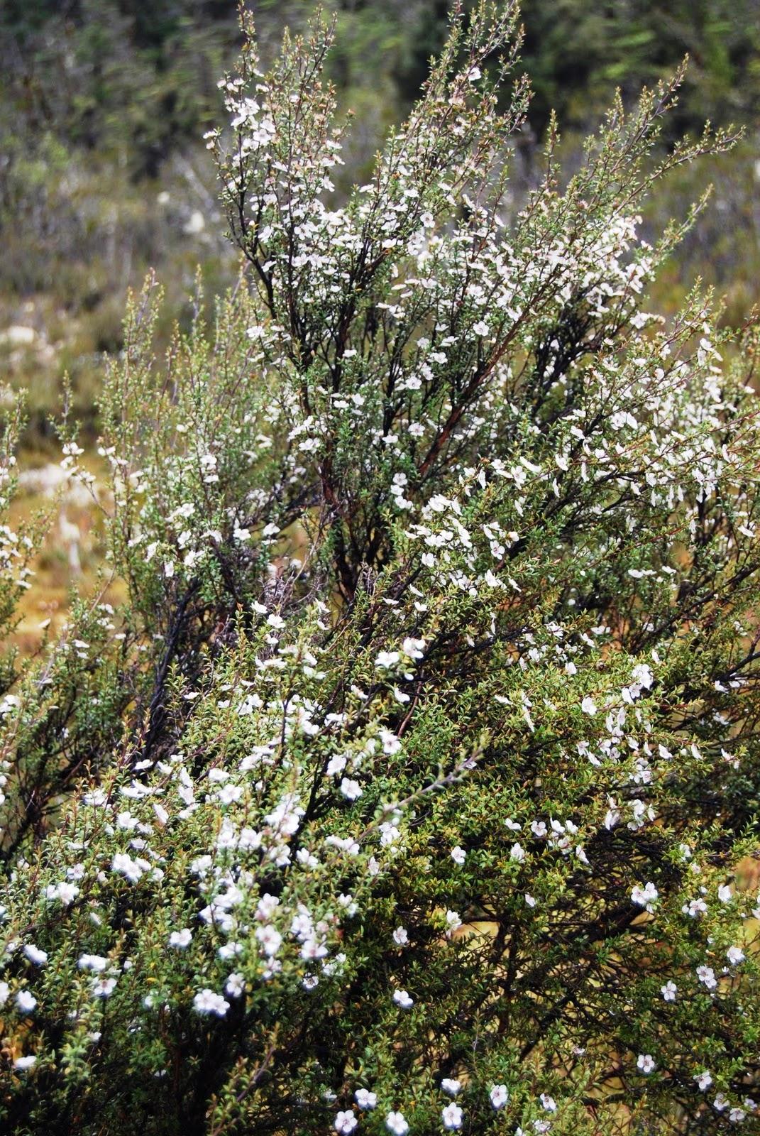 The Mighty Tea Tree Mystical Magical Herbs