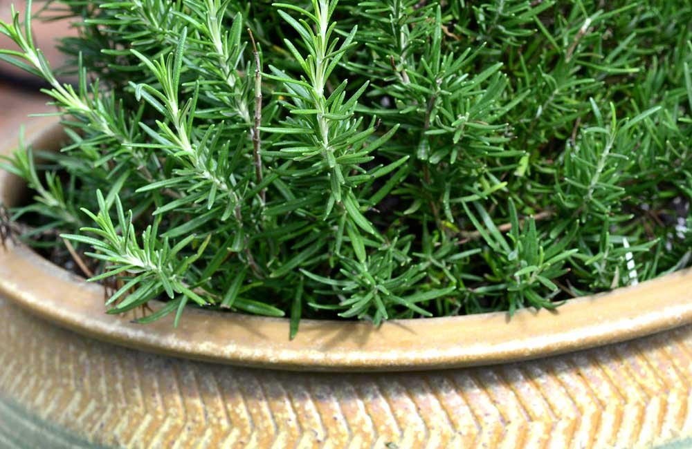 Rosemary Dew Of The Sea Mystical Magical Herbs