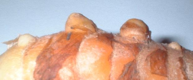 turmeric buds