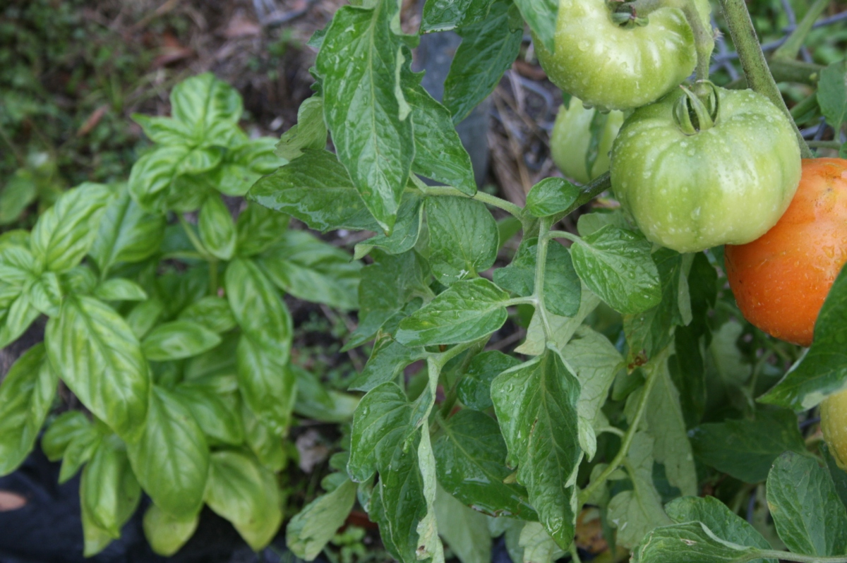 Tomatoes with Basil; or, Companion Planting with Herbs