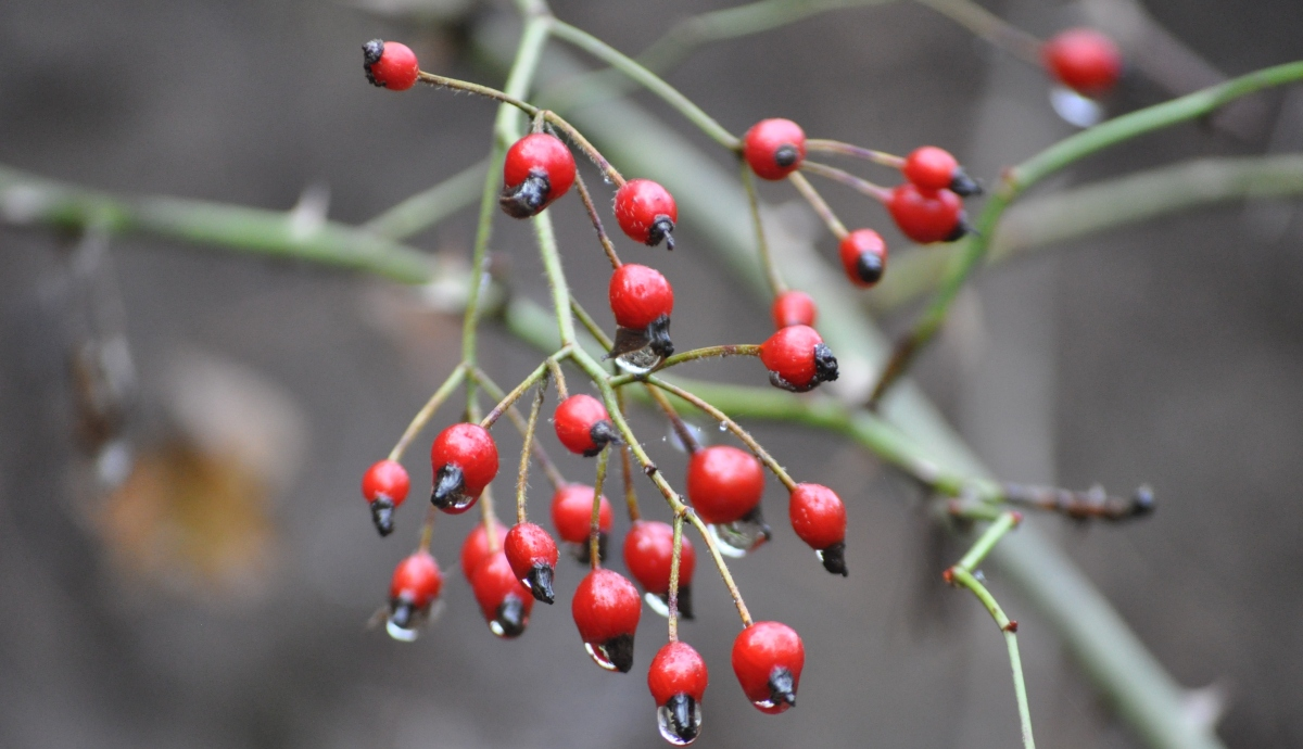 Eucalyptus Oil Edible