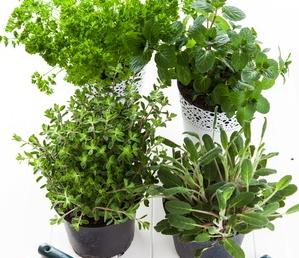 herbs-in-pots2