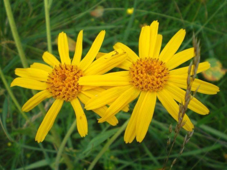 Arnica flowers