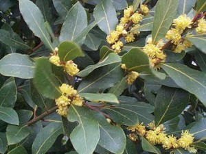 Bay tree with flowers