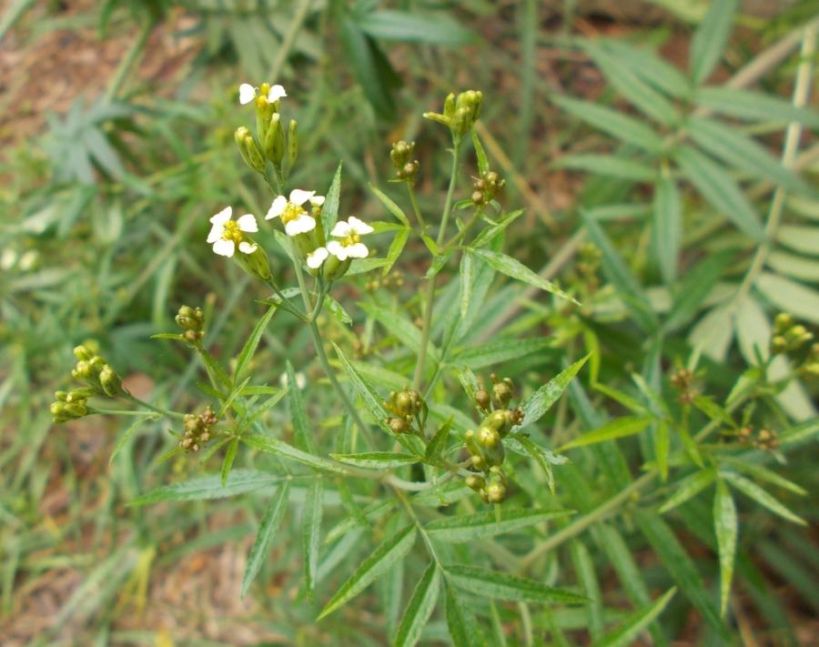 huacatay herb