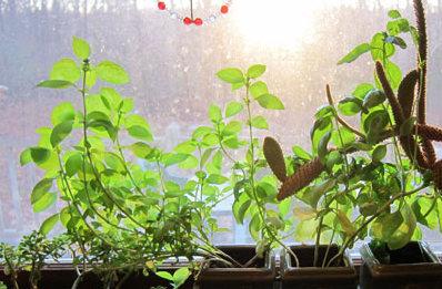 basil kitchen window