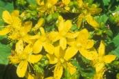 Spotted St. John's Wort flowers (Hypericum punctatum), North America.