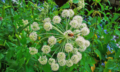 angelica-herb