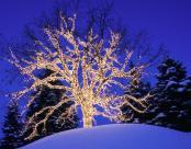 OAK TREE DECORATED W/ LIGHTS, MINNESOTA