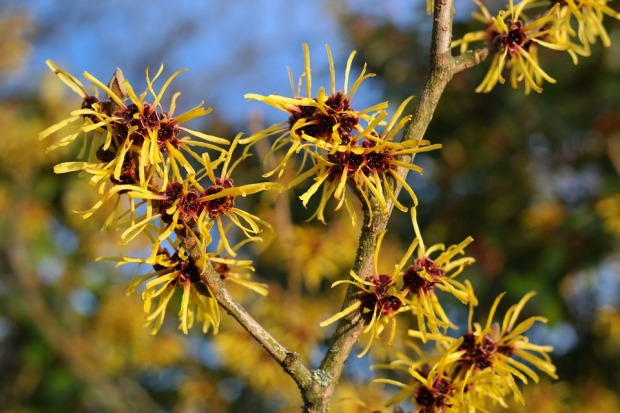 witch-hazel-2